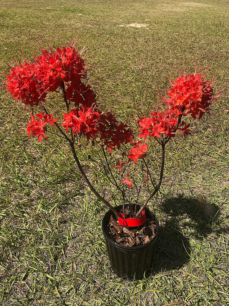 Rhododendron flammeum JAKE'S RED 1 gallon