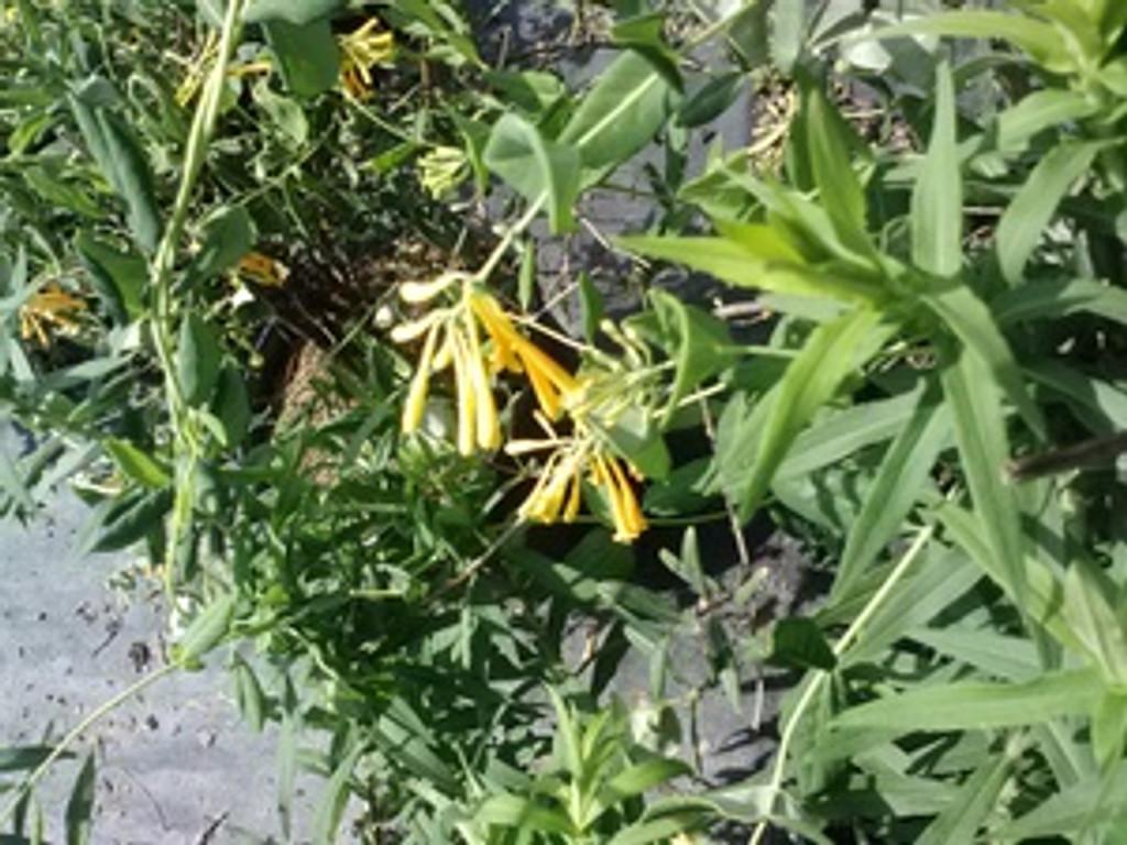 Lonicera sempervirens Sulphurii Yellow Honeysuckle