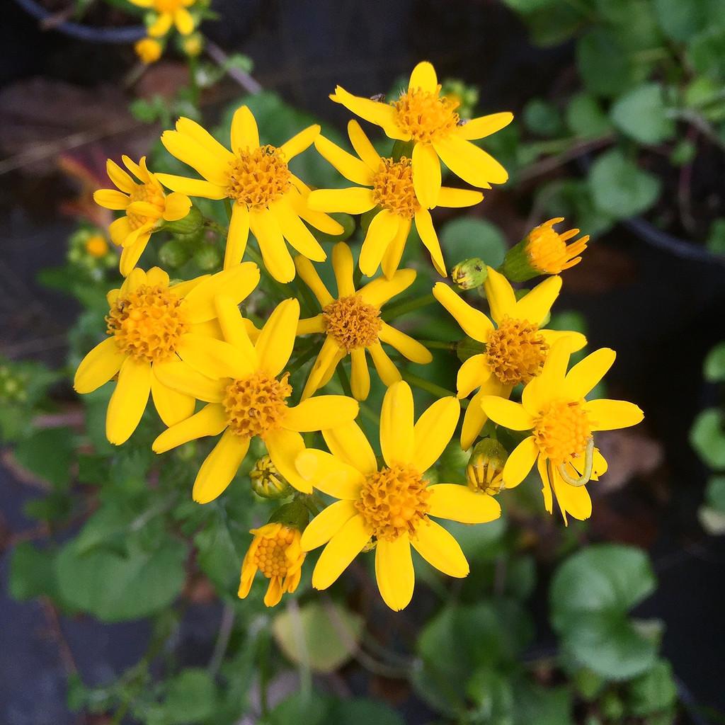 Packera (Senecio) aureus Golden Ragwort 1gallon