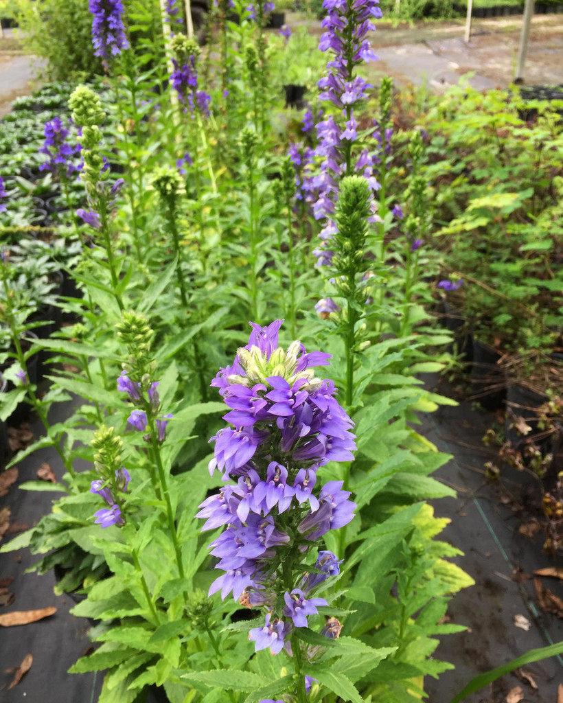 Lobelia Siphilitica Great Blue Lobelia Mail Order Natives