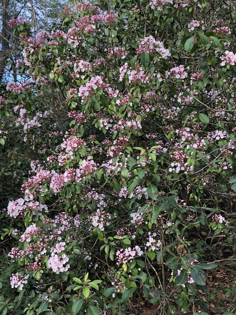 Kalmia latifolia Mountain Laurel
