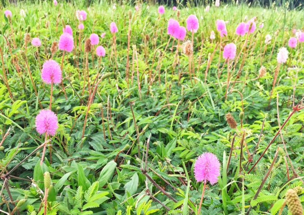 Mimosa strigillosa Powderpuff Plant 1gallon