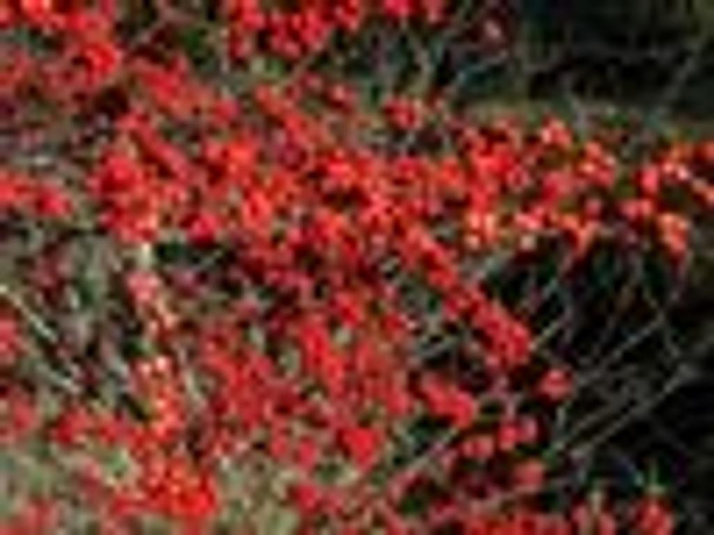 Ilex verticillata 'Winter Red' Winterberry