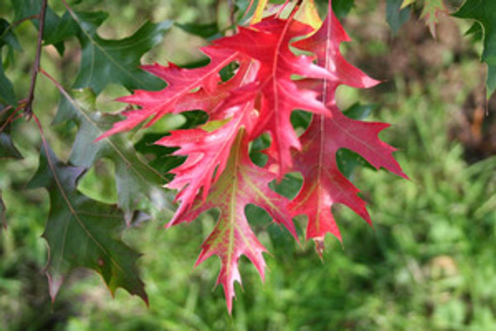 Quercus coccinea Scarlet Oak  1gallon