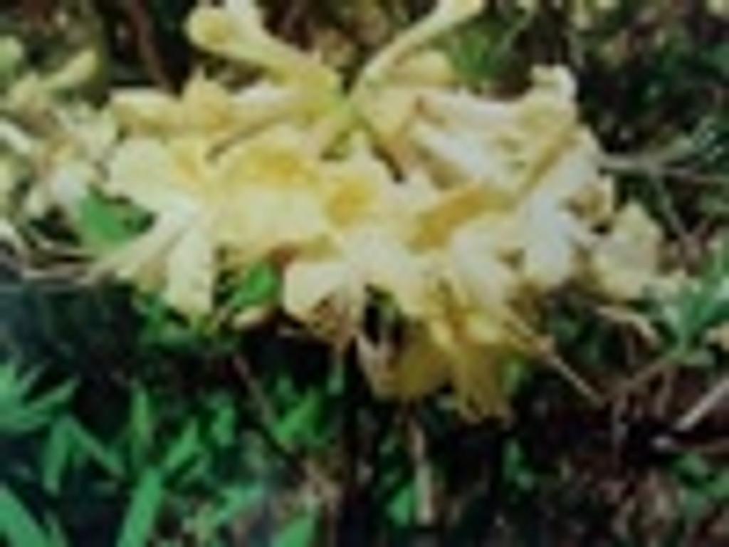 Rhododendron alabamense Mary Brooke