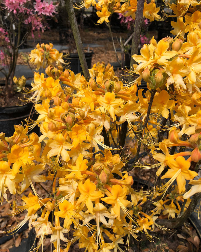 Rhododendron austrinum Moonbeam 1 gallon READY OCTOBER