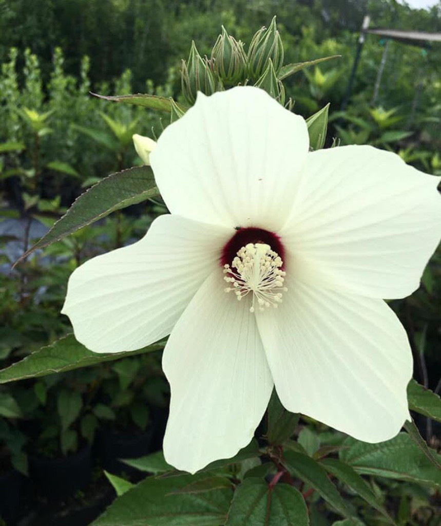 Hibiscus Moscheutos Swamp Mallow Mail Order Natives