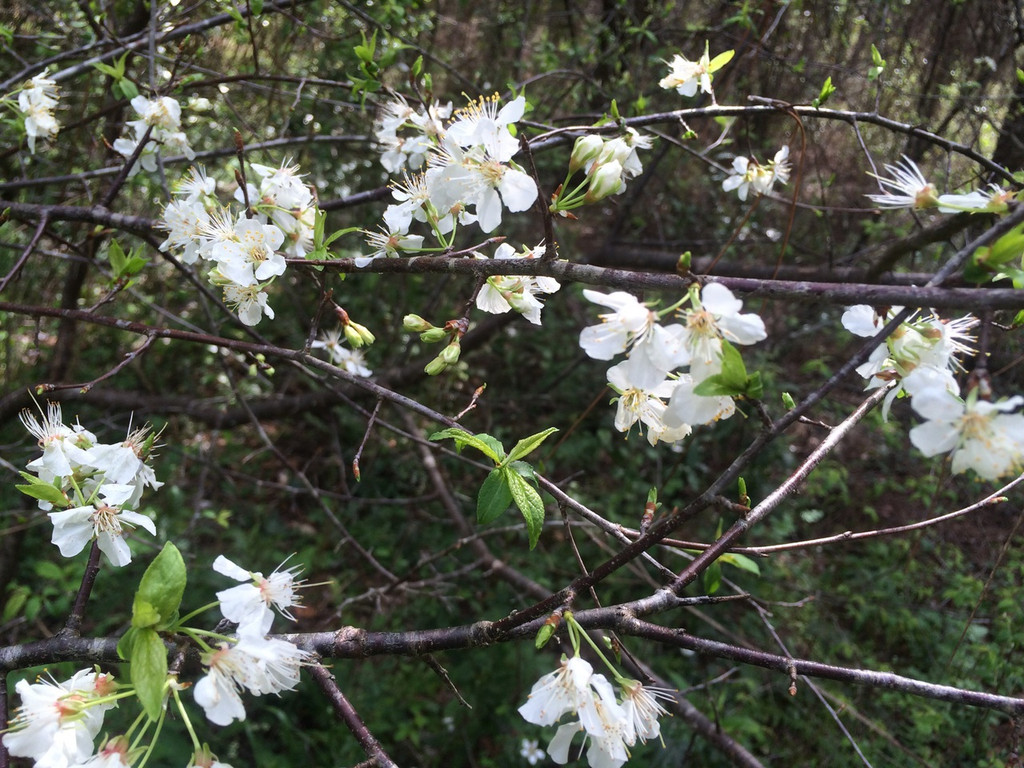 Prunus angustifolia Chickasaw Plum