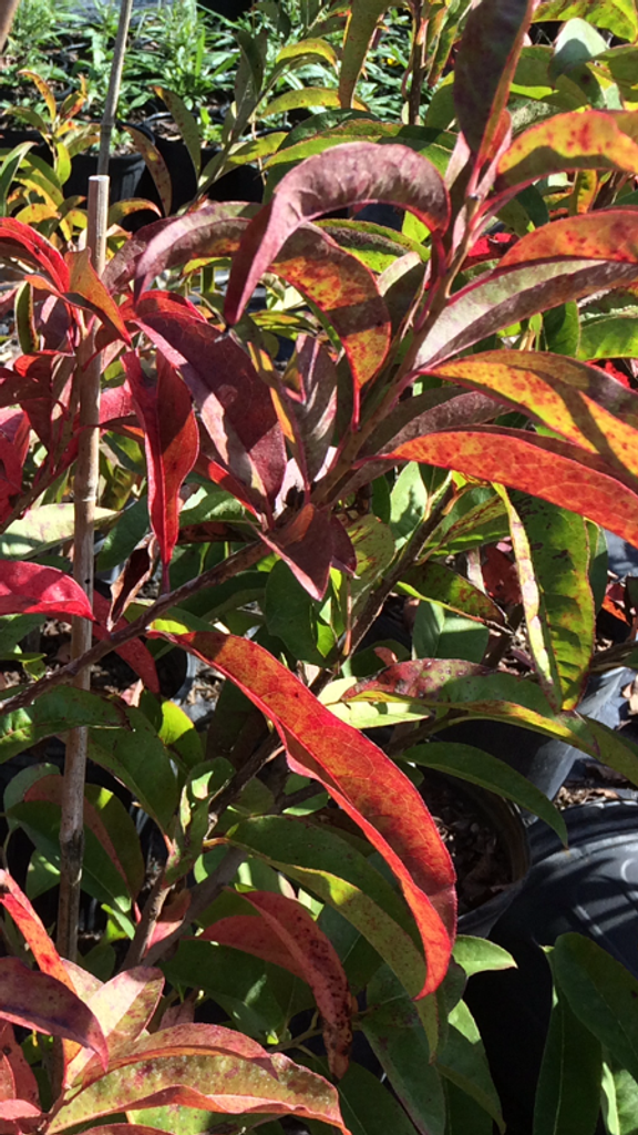 Sourwood has amazing fall color!