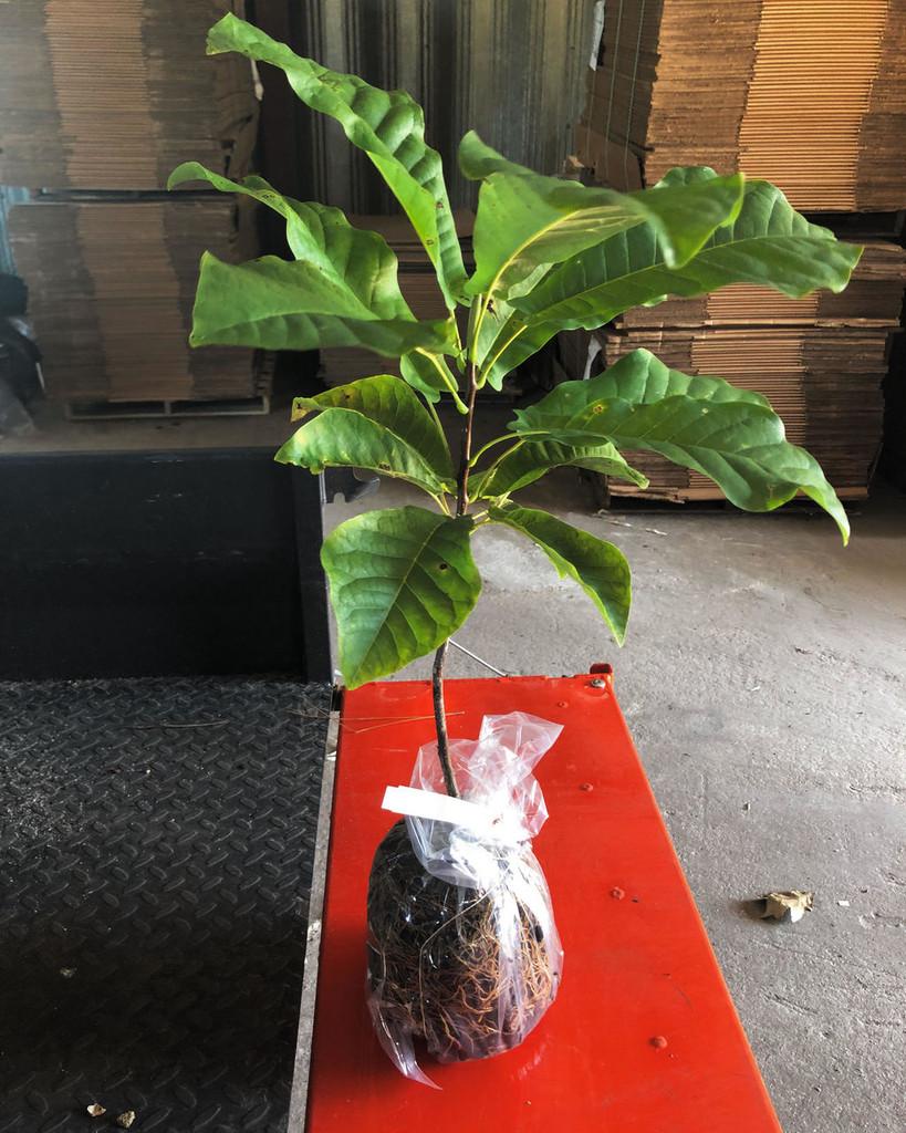 Magnolia Pyramidata Pyramid Magnolia Mail Order Natives