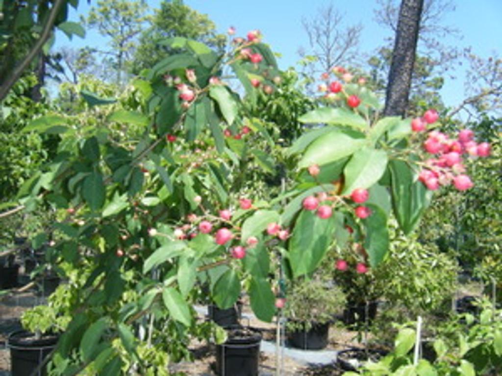 Amelanchiar arborea Serviceberry