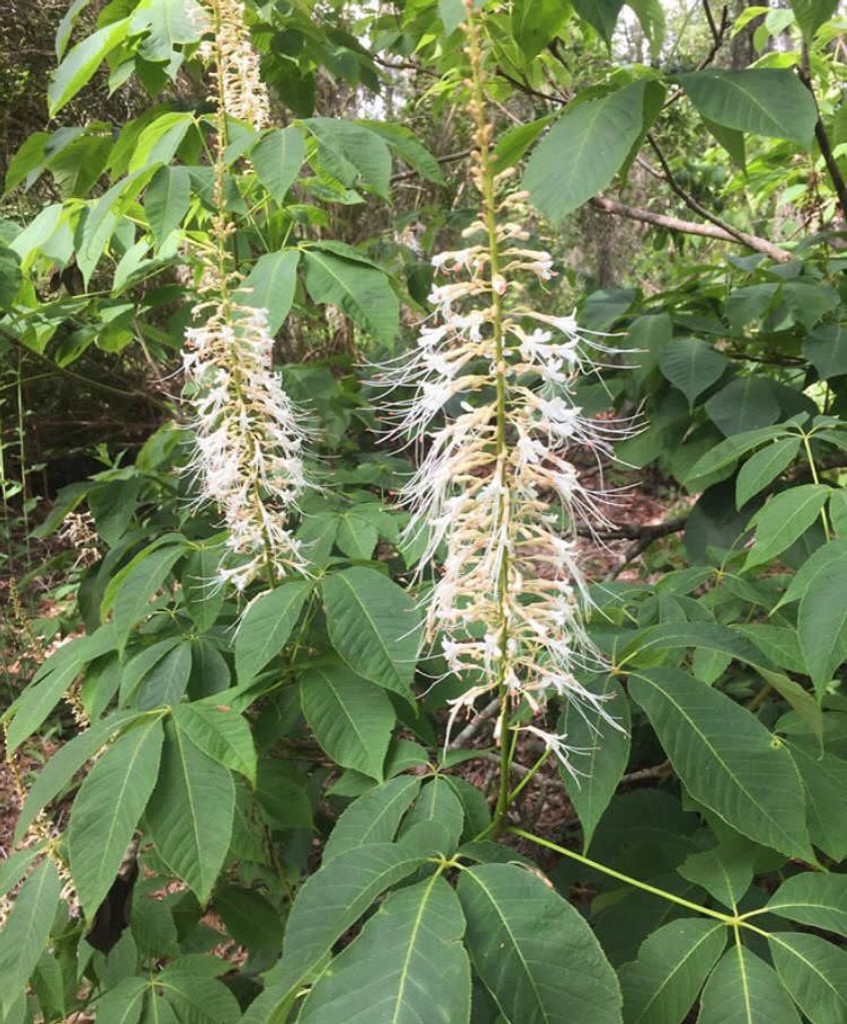 Aesculus parviflora Bottle-Brush Buckeye 1g