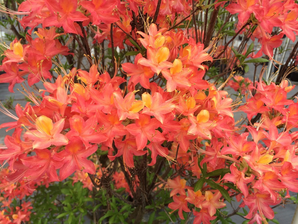 Rhododendron flammeum Early Bloomer