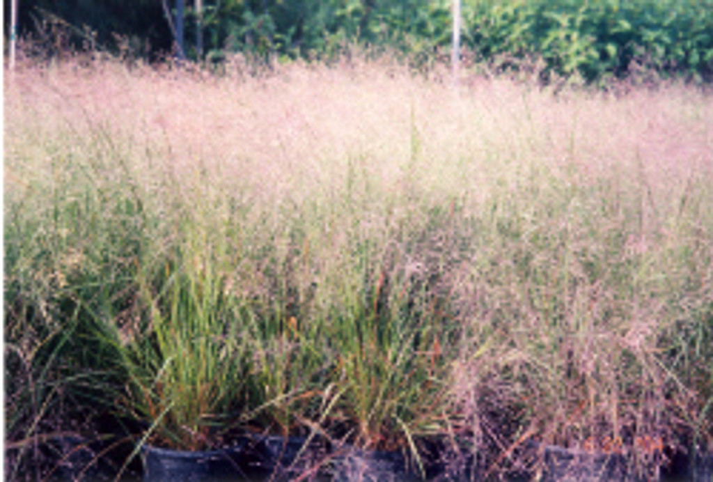 Eragrostis spectabilis Purple Love Grass