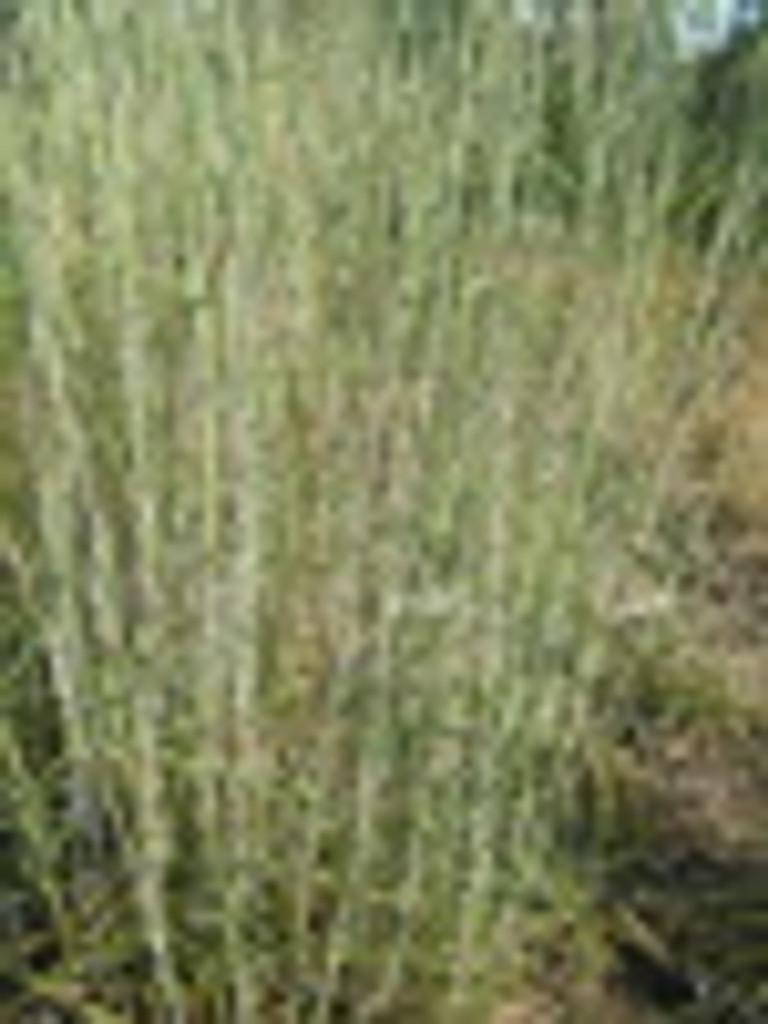 Schizachyrium scoparium Little Bluestem Grass