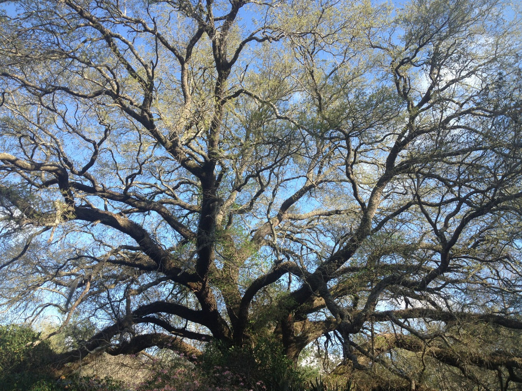 Quercus virginiana Live Oak