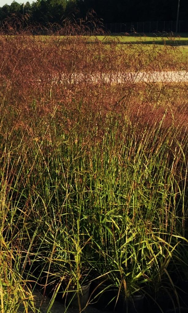 Tridens flavus Purple-top Grass