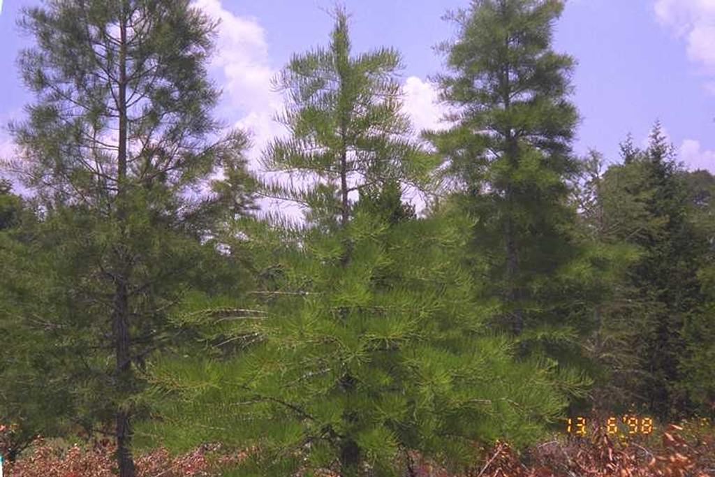 Taxodium ascendens Pond Cypress 1 gallon