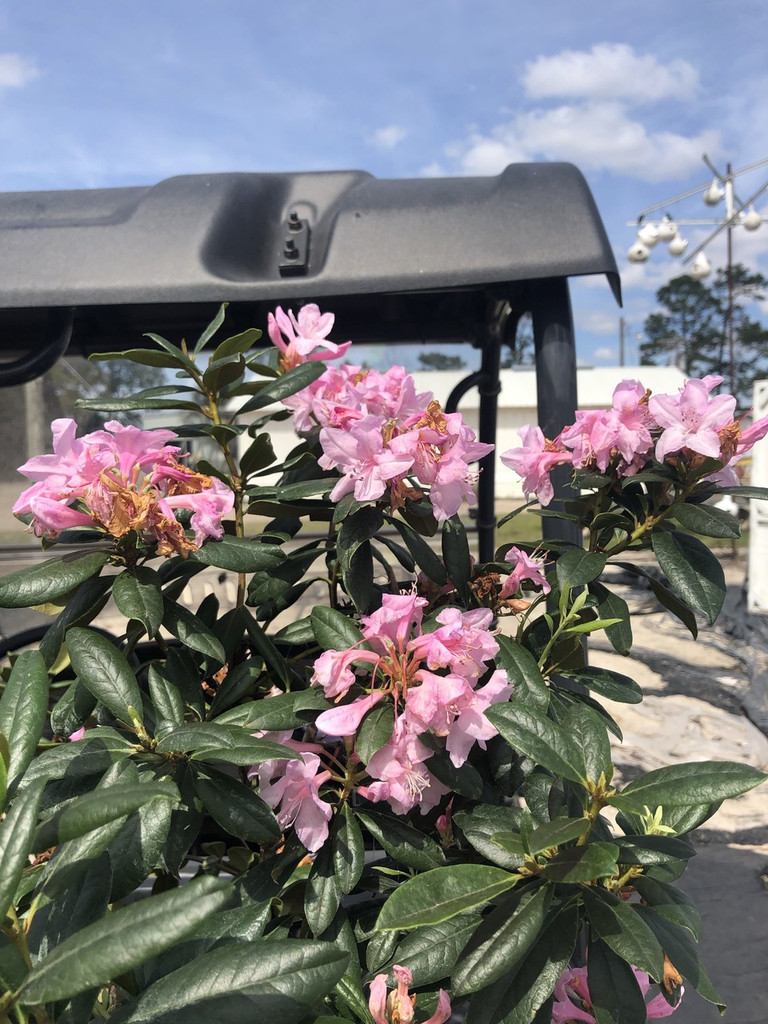 Rhododendron chapmanii 1 gallon