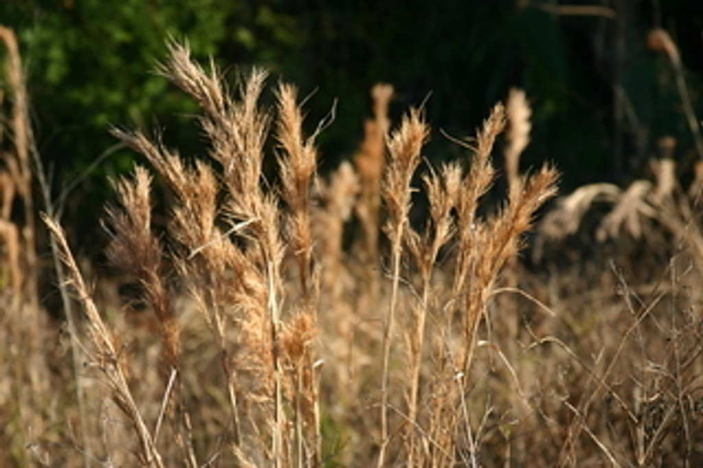 Andropogon glomeratus Bushy Bluestem Grass 1gallon