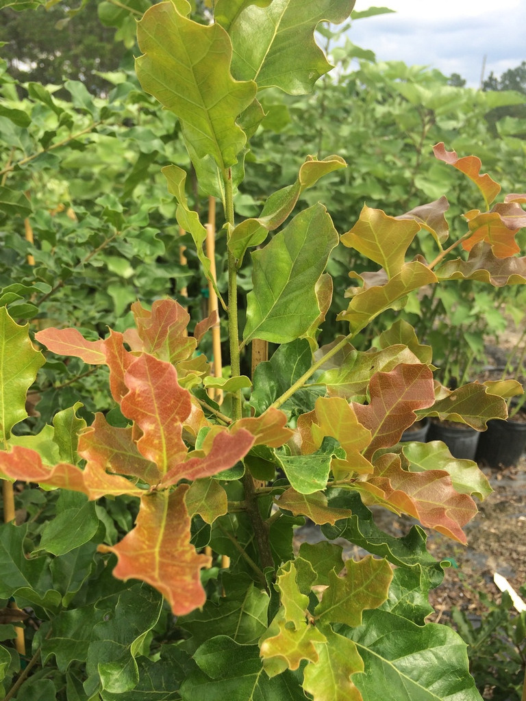Quercus arkansana Arkansas Oak 1gallon