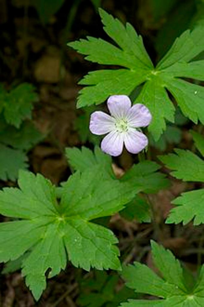 Geranium maculatum Wild Geranium 1gallon