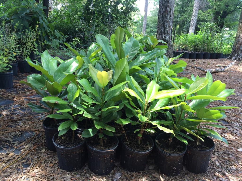 Southern Magnolia 1gallon size