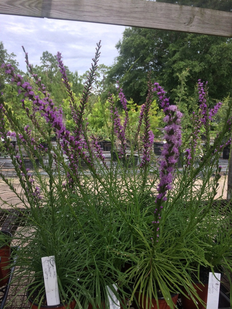 Liatris microcephala Dwarf blazing star 1gallon