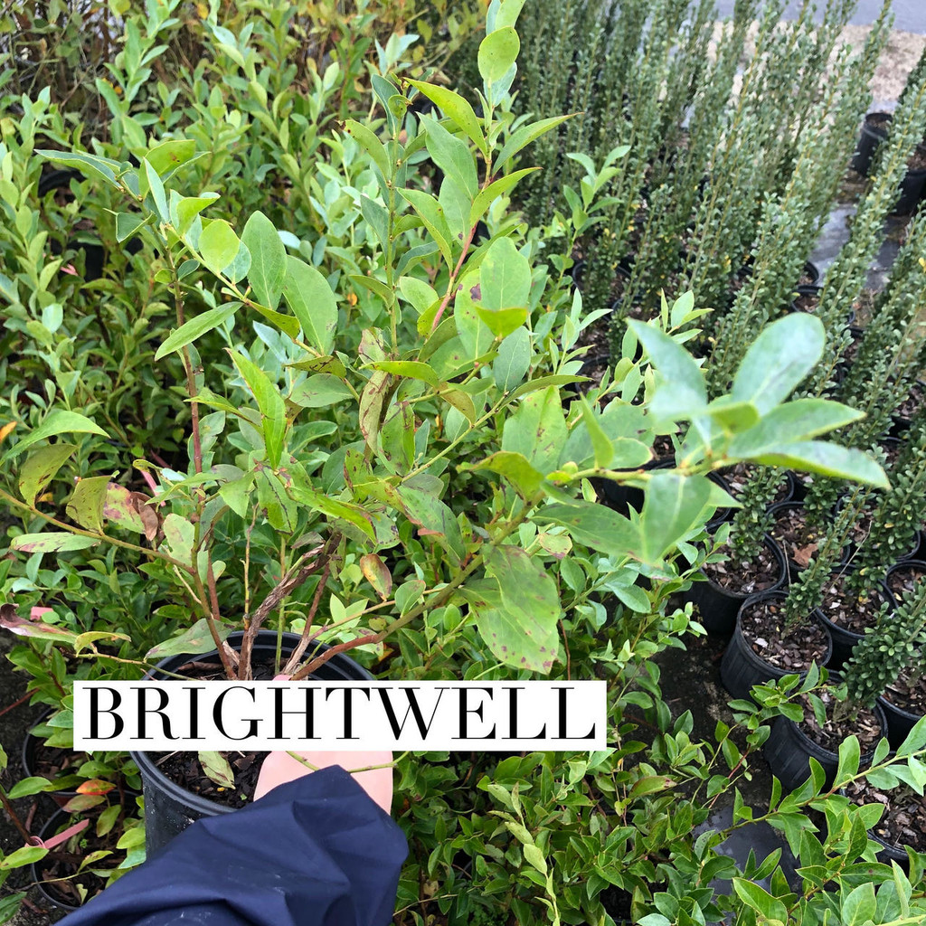 BLUEBERRY COLLECTION: 4 PLANTS-Alapaha, Powder Blue, Premier, Ochlocknee