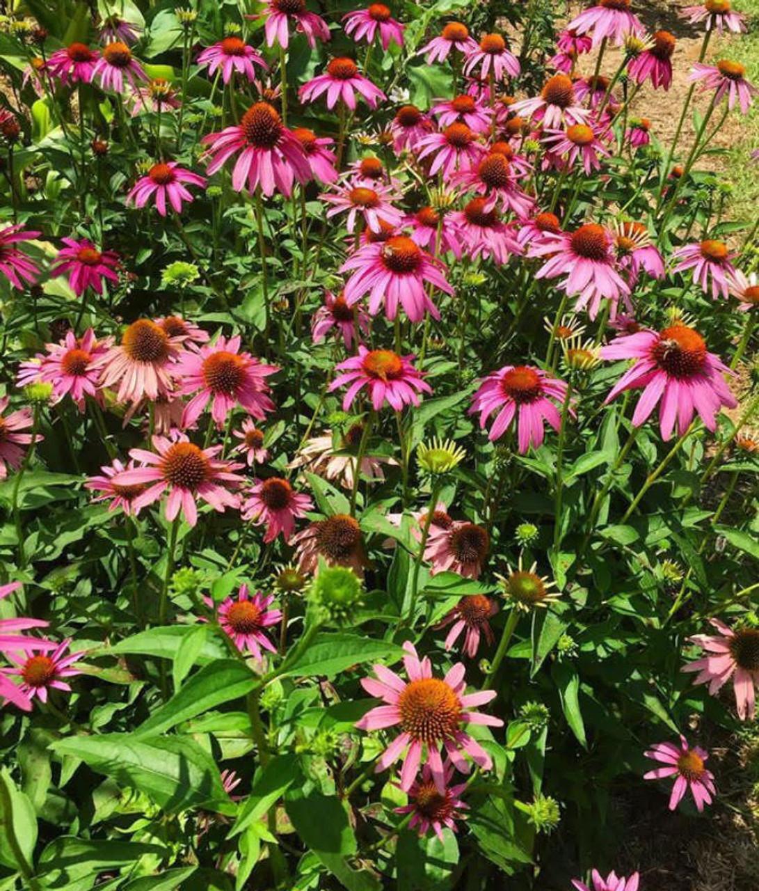 Echinacea Purpurea Purple Coneflower 1gallon Mail Order Natives