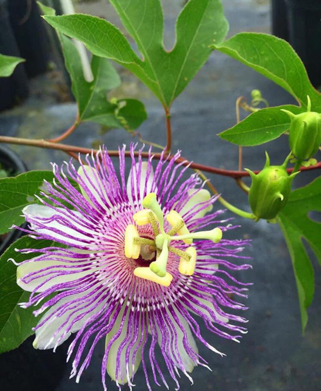Passiflora Incarnata Passion Vine Mail Order Natives