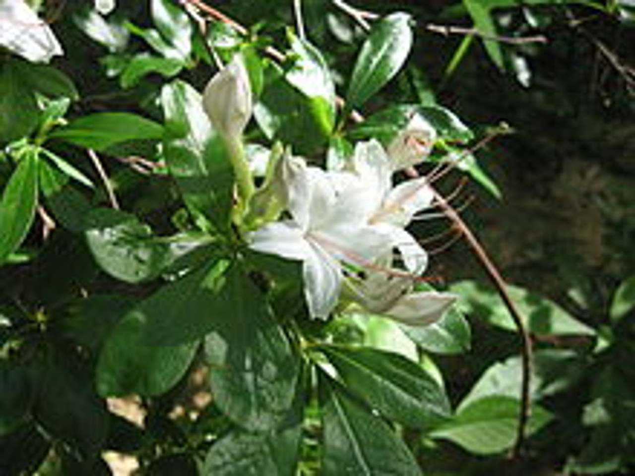 Rhododendron Arborescens Sweet Azalea 1 Gallon Mail Order Natives