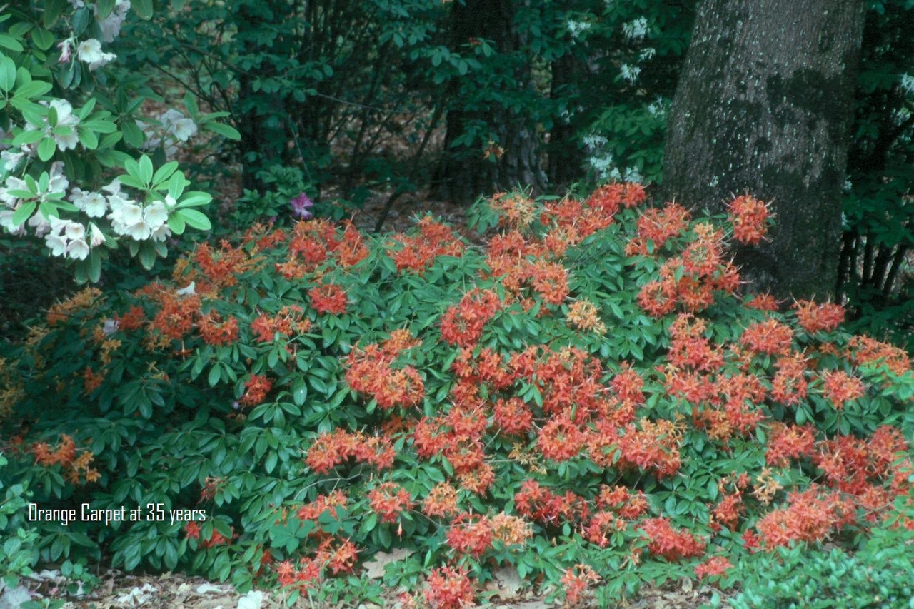 Rhododendron Flammeum Orange Carpet 1gallon Mail Order Natives