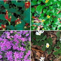 Companion plants for Spigelia: top right (Chrysogonum virginianum) Green and Gold, Phlox divaricata (Woodland Phlox, and Sanguinaria canadensis (Bloodroot) all appreciate partial shade