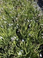 Sisyrinchium 'Suwannee' Blue eyed Grass 1gallon