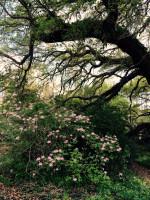 Rhododendron canescens Piedmont Azalea