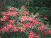 Rhododendron Razzberry 1gallon
