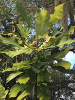 Magnolia macrophylla Bigleaf Magnolia 1 gallon