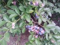 Vaccinium corymbosum GOOD TASTE Blueberry