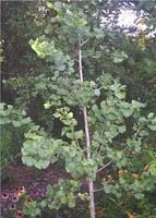 Ginkgo biloba Maidenhair Tree