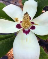 Magnolia ashei Ashe Magnolia