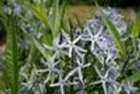 Amsonia tabernaemontana Blue Star