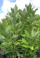 Persea borbonia Red Bay 1gallon