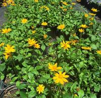 Coreopsis auriculata Earred Coreopsis 1 gallon