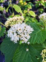 Viburnum acerifolium Mapleleaf Viburnum 1gallon