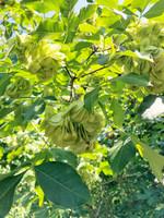 Ptelea trifoliata Hoptree 1gallon