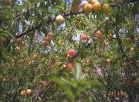 Prunus angustifolia 'Guthrie' Plum (small now)