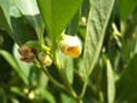 Illicium parviflorum Yellow Anise