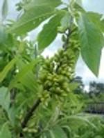 Leitneria floridana Florida Corkwood