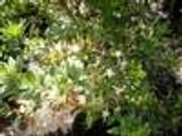 Rhododendron serrulatum Sweet Azalea